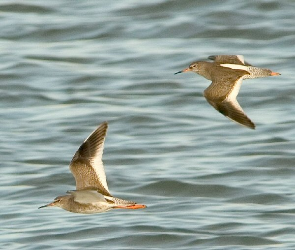 redshank-11-clive-timmons_lge