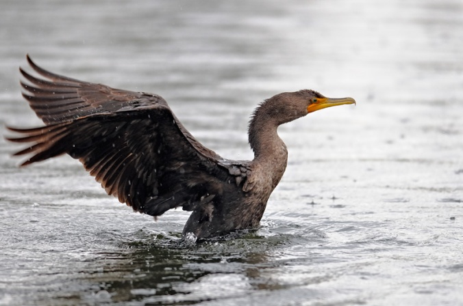 cormorant Graham Owen