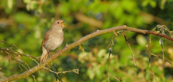 nightingale-song-720x340