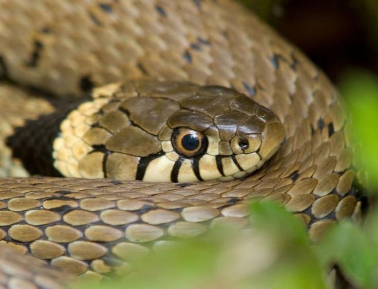 grass snake animalia