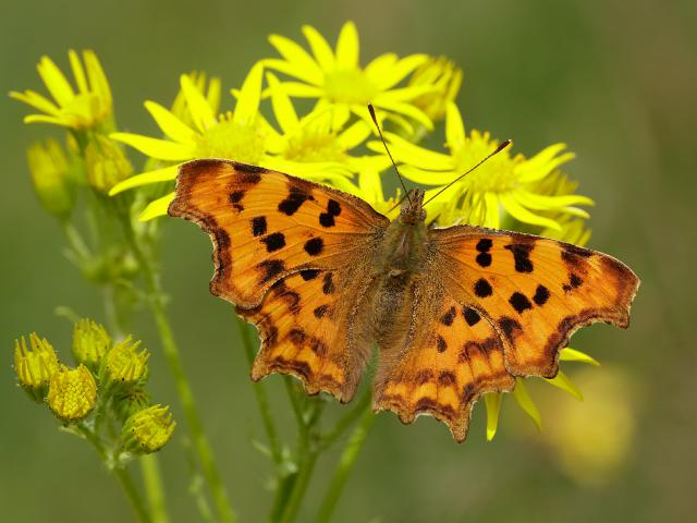 7705686416-comma-polygonia-c-album